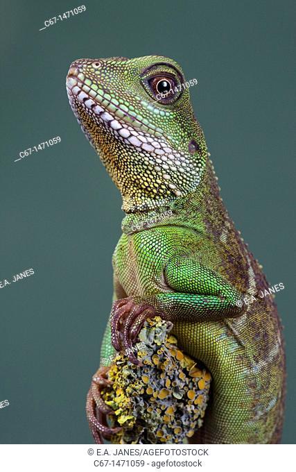 Chinese water Dragon Physignathus cocincinus portrait