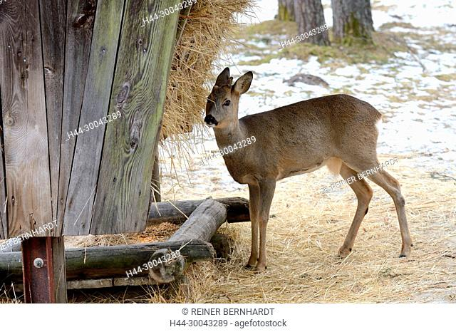 Capreolus capreolus, local animals, endemic animals, Jahrling, Kümmerer, emergency time, roe deer, roebuck, roebuck in feeding, roebuck in January, roe deer