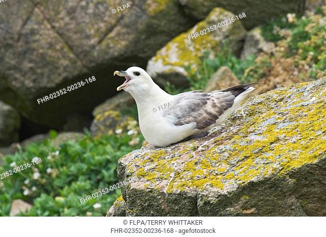 Northern Fulmar Fulmaris glacialis adult, calling, sitting on rock, Saltee Islands, Ireland