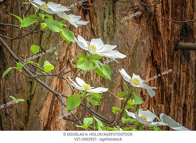 Dogwood Blossoms and Cedar Tree