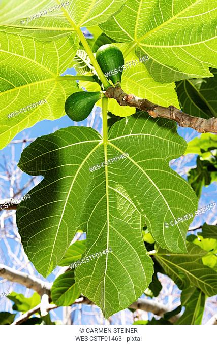 Italy, Calabria, Tropea, Figs, Ficus carica