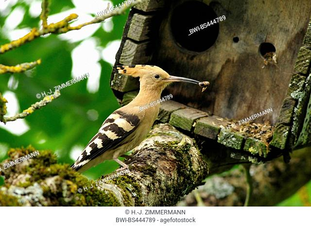 hoopoe (Upupa epops), on a branch with feed in the bill in front of a nesting box, side view, Germany
