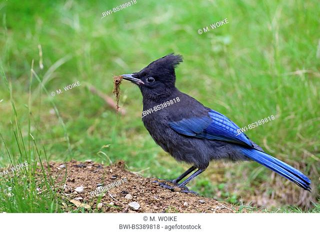Steller's jay (Cyanocitta stelleri), standing on the ground with nesting material in the bill, Canada, Vancouver Island