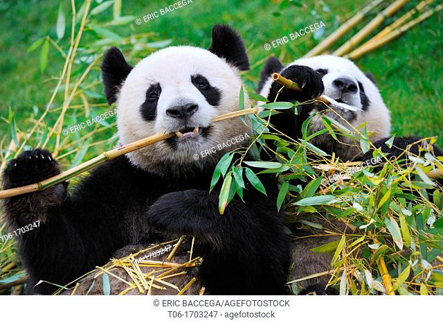 Giant panda pair eating bambou Ailuropoda melanoleuca captive  ZooParc Beauval, France