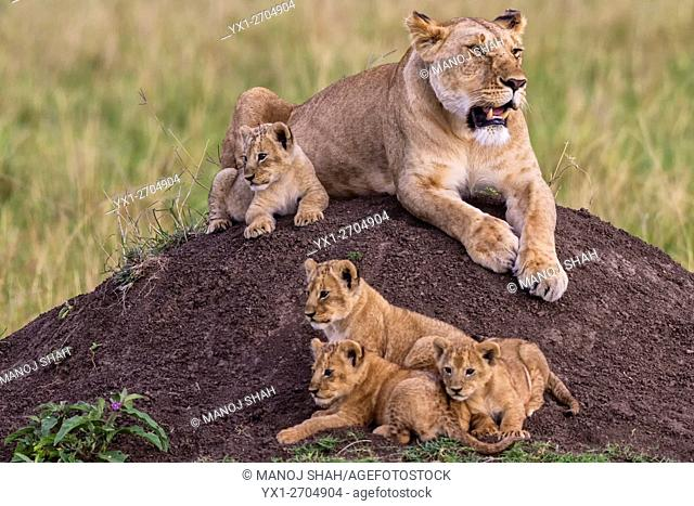 Lioness with four cubs on an ant hill, Masai Mara National Reserve, Kenya