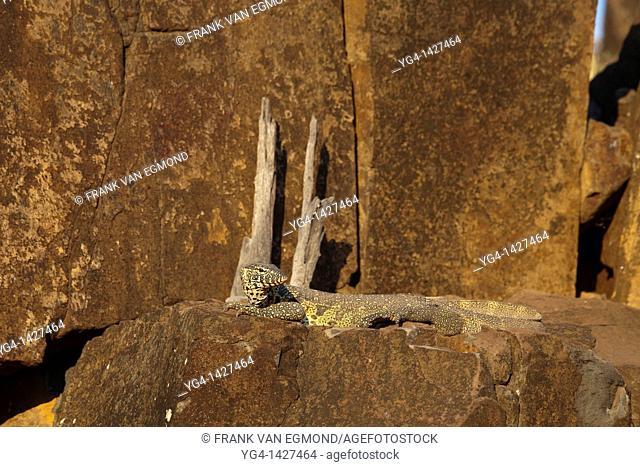 Nile Monitor Varanus Nilotictus   Mashatu Game Reserve  Tuli block, Botswana  November 2010