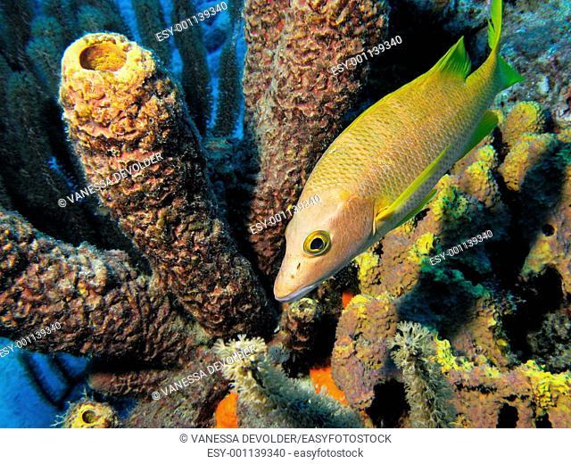 Schoolmaster fish, sponges and corals in the sea around Bonaire, Duth Antilles, Caribbean sea