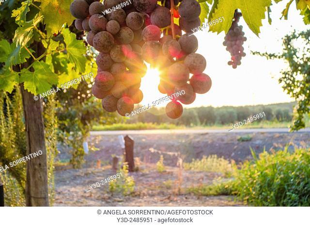 grapes at sunset, Basilicata region, south Italy