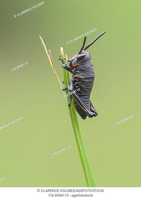 An Eastern Lubber Grasshopper (Romalea microptera) nymph (early instar) perches on a blade of grass