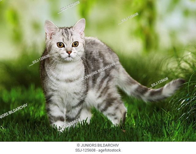 British Shorthair cat - standing on meadow