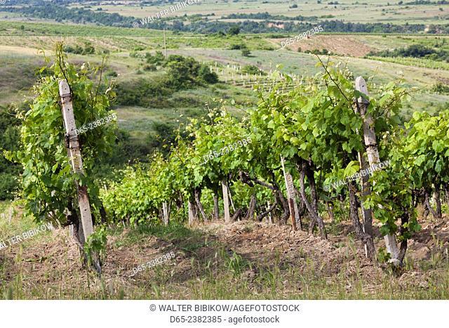 Bulgaria, Southern Mountains, Melnik-area, Vinogradi, village vineyards