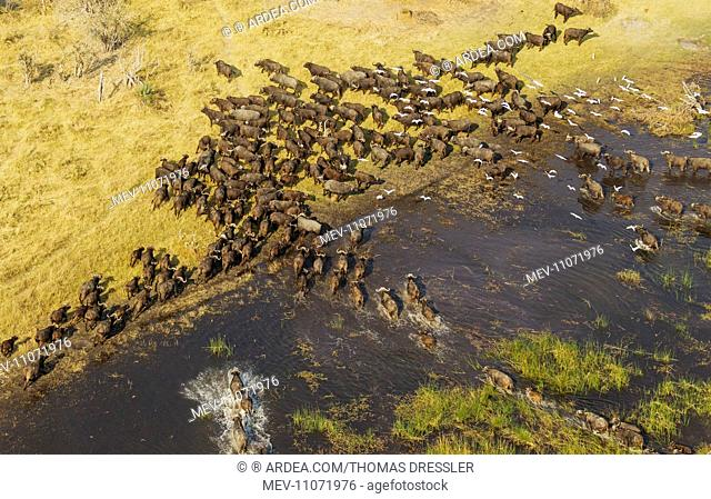 Cape Buffalo crossing a marsh area the white birds are Cattle Egrets (Bubulcus ibis) aerial view - Okavango Delta, Moremi Game Reserve, Botswana