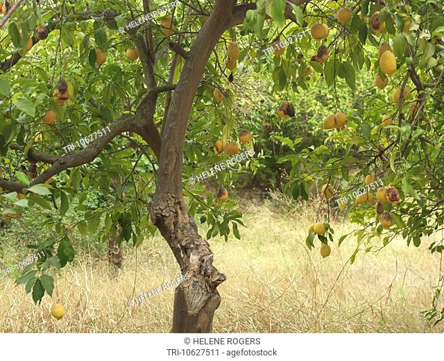 Sicily Italy Lemons Growing On Trees