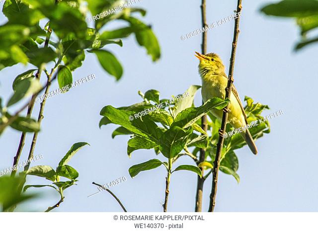 Germany, Saarland, Bexbach, A melodious warbler is sings on a branch