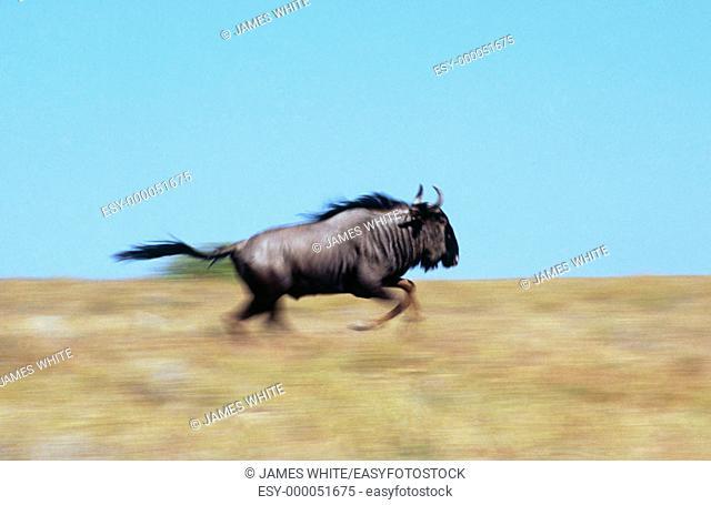 Blue Wildebeest (Connochaetes taurinus), male running in mating season. Etosha National Park, Namibia