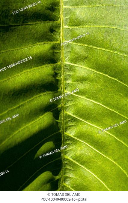 Close-up of a green leaf, stem and veins create a pattern