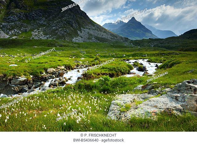 cotton-grass (Eriophorum spec.), mountain creek at Julier Pass, Switzerland, Grisons