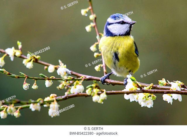 blue tit (Parus caeruleus, Cyanistes caeruleus), sitting on a blooming twig, Switzerland, Sankt Gallen