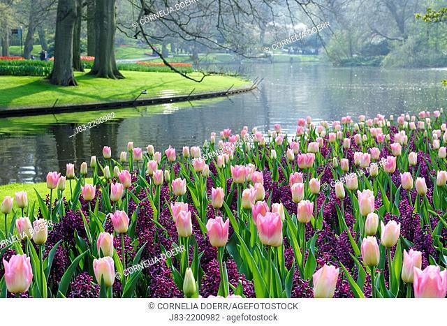 Formal garden design with Springtime flowerbeds of Tulips and Hyacinths, Keukenhof Gardens, Lisse, Holland, Netherlands