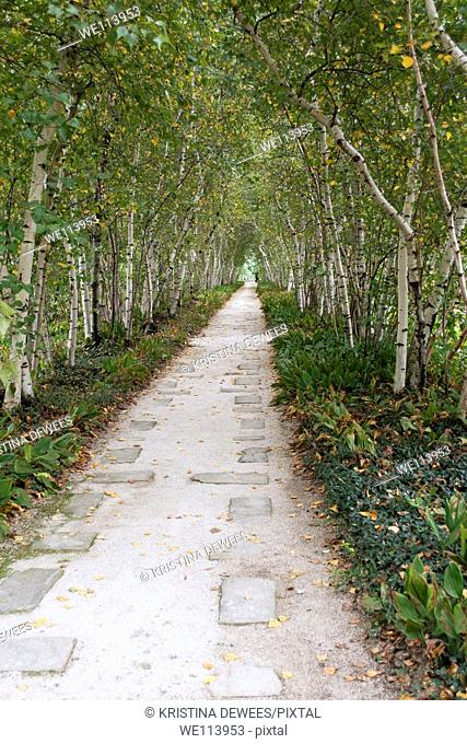 A walkway lined with Lily of the Valley flowers and Birch Trees