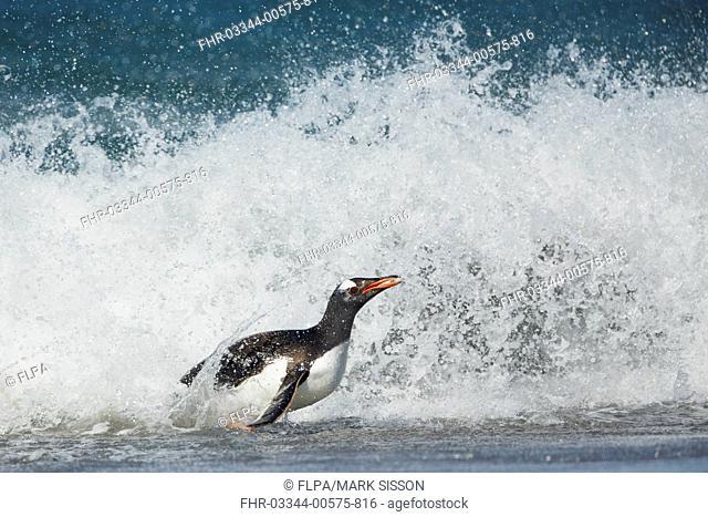 Gentoo Penguin (Pygoscelis papua) adult, emerging from sea onto beach, Falkland Islands, December