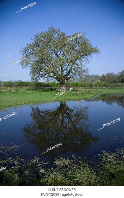 Old oak tree reflected in pond on Norfolk farm