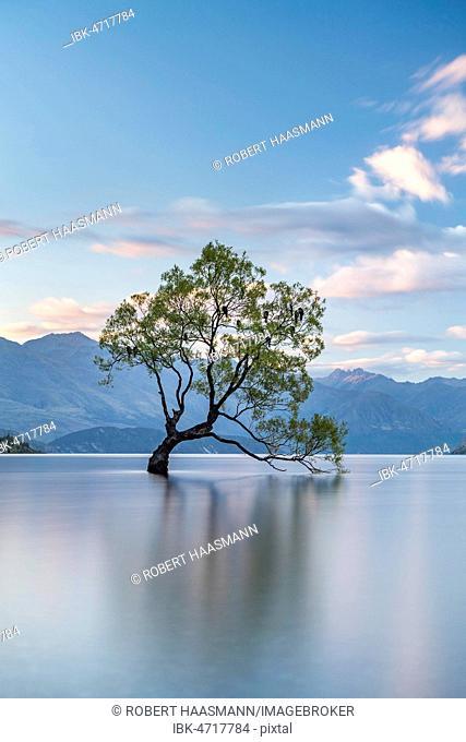 Single tree stands in water, Wanaka Lake, The Wanaka Tree, Roys Bay, Otago, South Island, New Zealand