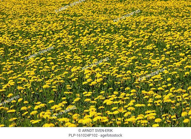 Common dandelions (Taraxacum officinale) flowering in field in spring