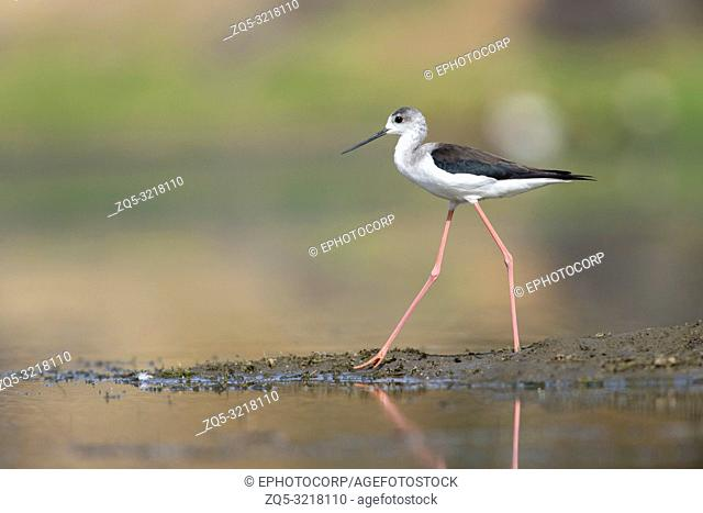 Black winged stilt, Bera Jawai hills, Pali district, Rajasthan, India