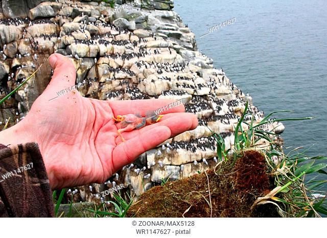 nestling of razorbill opposite colony