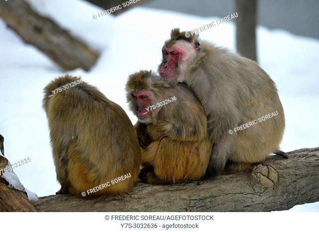 Japanese monkey, Asahiyama Zoo, Asahikawa, Hokkaido, Japan, Asia
