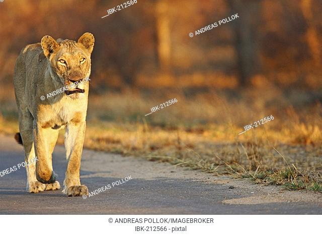 Female lion in evening light Krueger national park, South Africa