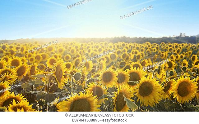 Sunflowers in the Field Shined by the Sun