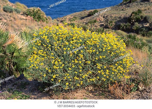 Coronilla juncea is a shrub native to western Mediterranean Region. This photo was taken in Cabo de Gata Natural Park, Almeria province, Andalucia, Spain
