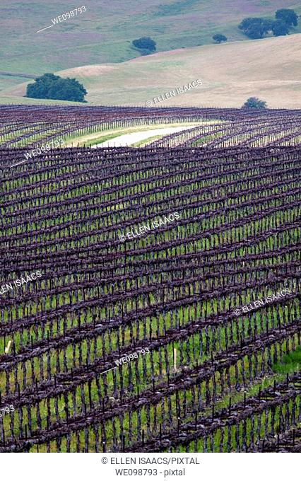 Path running through rows of grapevines in a vineyard in the rolling hills of Central California