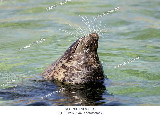 Close up of common seal / harbour seal (Phoca vitulina) bottling / sleeping upright in sea
