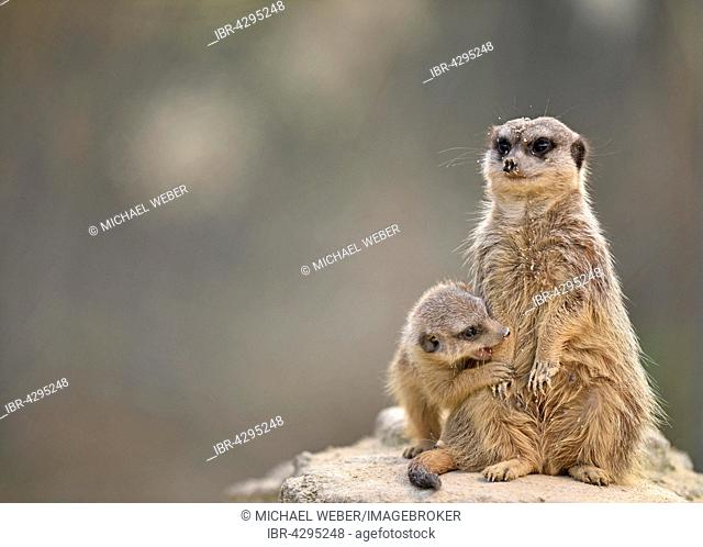 Meerkats (Suricata suricatta), young searching teat of adult female, native to Africa, captive