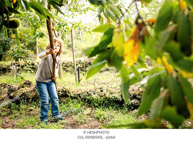Boy poking chestnut tree with pole in vineyard woods