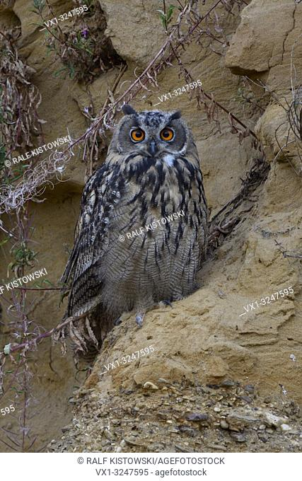 Eurasian Eagle Owl / Europaeischer Uhu ( Bubo bubo ), young bird, sitting in a steep sand cliff, watching directly, cute, wildlife, Europe