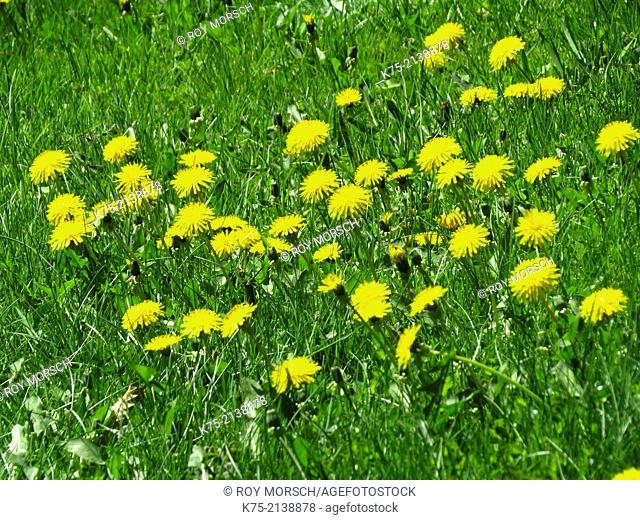 A field of mouse-eared hawkweed