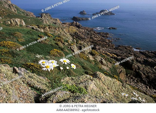 Ox-eye Daisies growing on Cliffs (Chrysanthemum leucanthemum), Jersey, Channel Islands, UK, United Kingdom