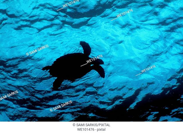 Silhouette of a Hawksbill Turtle (Eretmochelys imbricata) swimming near the bright blue surface of tropical waters, Fish Head, Ari Atoll, Maldives