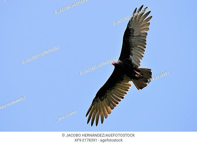 Turkey Vulture.Cathartes aura.Ciénaga de Zapata National Park.Cuba