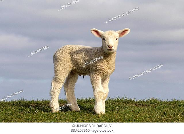 Domestic Sheep. Lamb standing on a meadow. Germany
