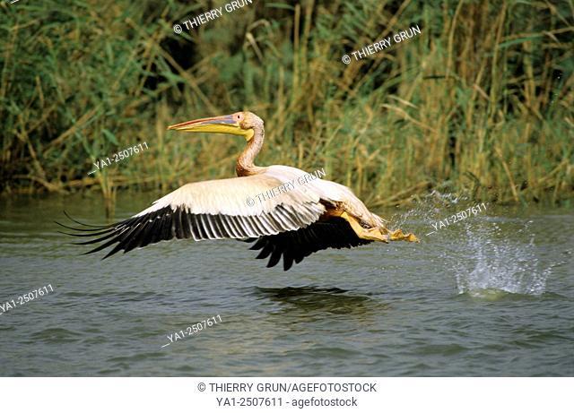 White pelican (pelecanus onocrotalus), National park of Djoudj, Senegal, West Africa
