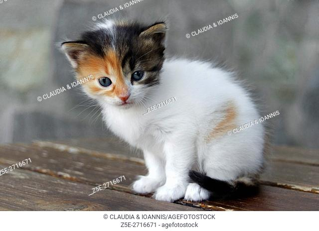Four weeks old calico kitten sitting on a table