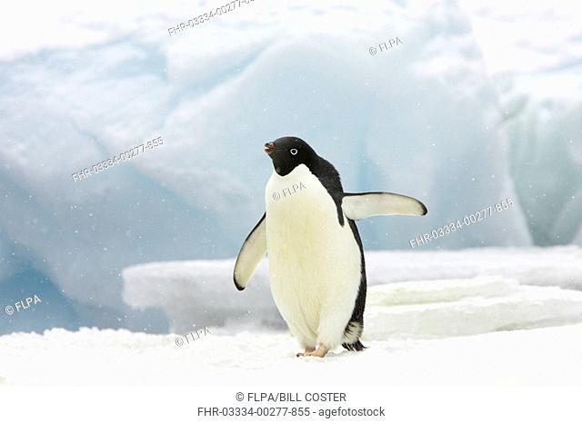 Adelie Penguin Pygoscelis adeliae adult, standing on iceberg in snowfall, Brown Bluff, Antarctic Peninsula, Antarctica