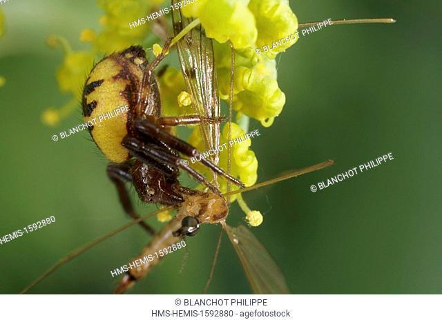 France, Araneae, Thomisidae, Crab spider (Synema globosum) biting a crane fly