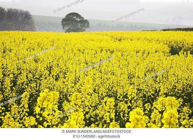 Rape Fields near Burdale Yorkshire Wolds East Riding of Yorkshire England