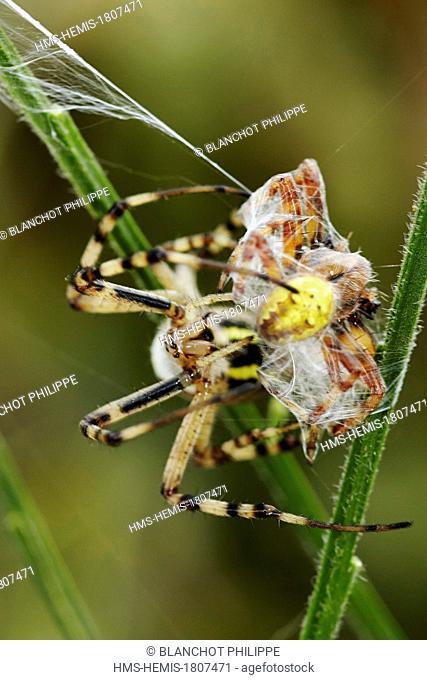 France, Morbihan, Araneae, Araneidae, Argiope frelon ou Epeire fasciée (Argiope bruennichi), femelle incérant ses crochets dans sa proie